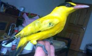 绿颊锥尾鹦鹉的饲养环境形态特征